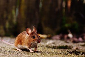 muizen bestrijden in huis